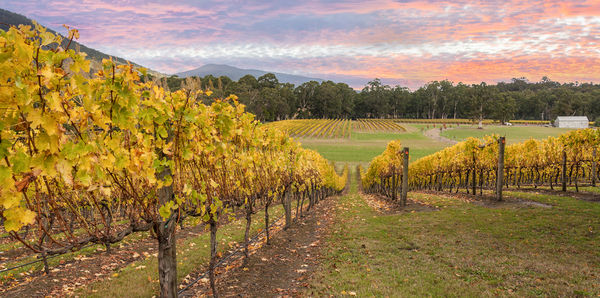 Yarra Valley vineyards